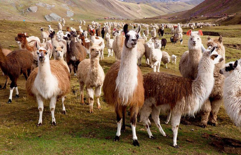 Lama del Perù