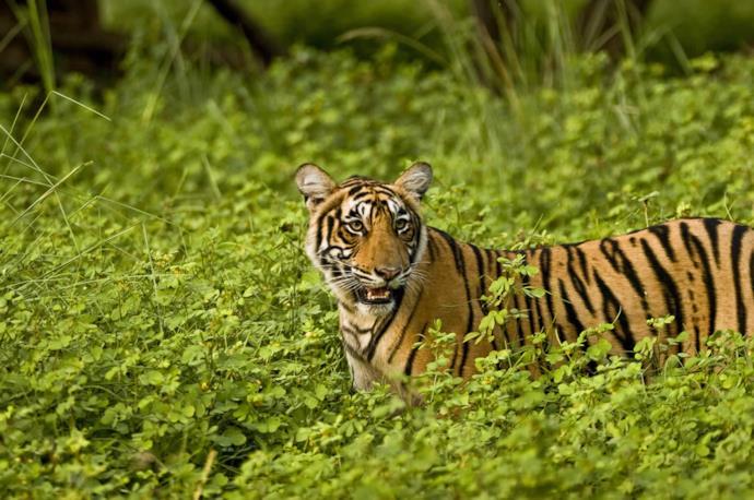 Tigre tra i cespugli nel parco di Ranthambore