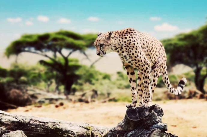 Ghepardo nel Parco Serengeti in Tanzania