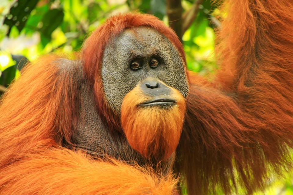 Orangotango a Sumatra in Indonesia