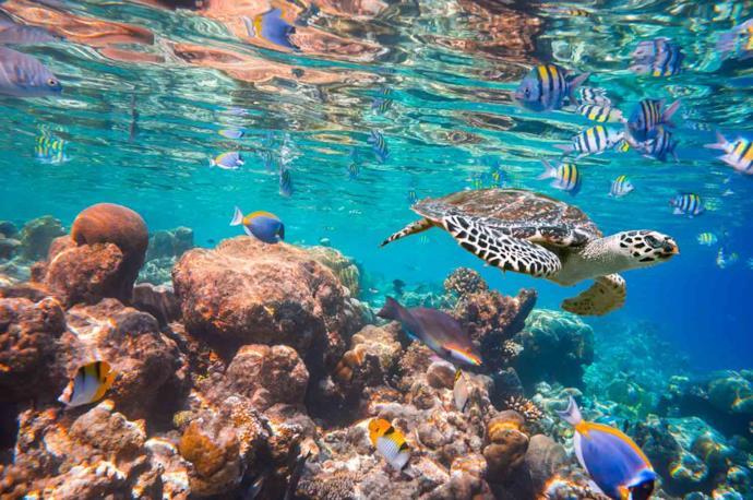 Tartaruga nei ricchi fondali delle Maldive