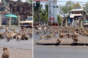 Branchi di scimmie affamate per le strade della Thailandia col calo del turismo